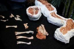Fósseis do dinossauro encontrados pelos pesquisadores Imagem: Larissa Ferreira